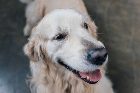 selective focus of adorable golden retriever sticking tongue out