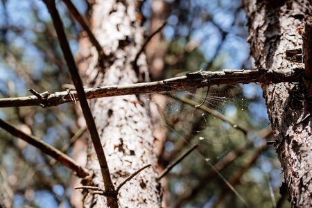 Low angle view of pine tree with spiderweb in forest 版權商用圖片