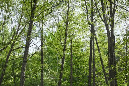 Low angle view of green trees in forest on blue sky background Stock Photo