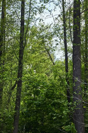 Green trees in forest with leaves on branches Stock Photo