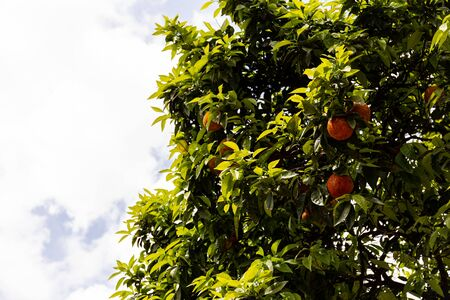 tree with green leaves and ripe tangerines under sky with clouds in rome, italy