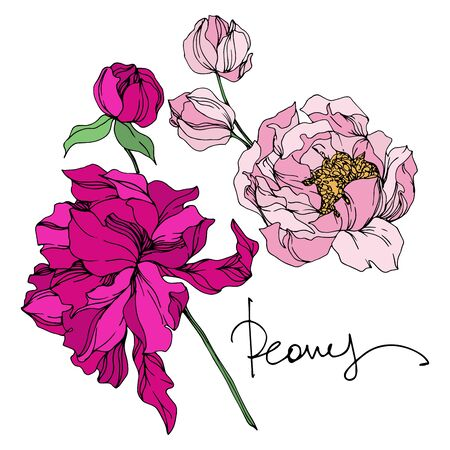 Peony floral botanical flowers. Wild spring leaf wildflower isolated. Black and white engraved ink art. Isolated peonies illustration element on white background. Banco de Imagens