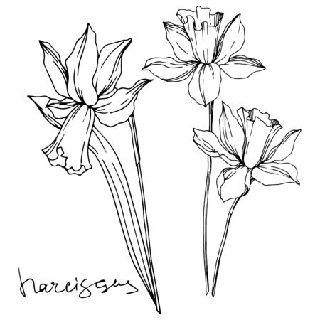 Vector Narcissus floral botanical flowers. Wild spring leaf wildflower isolated. Black and white engraved ink art. Isolated narcissus illustration element on white background.