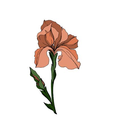 Vector Iris floral botanical flowers. Wild spring leaf wildflower isolated. Black and white engraved ink art. Isolated irises illustration element jn white background. Stok Fotoğraf - 130117690