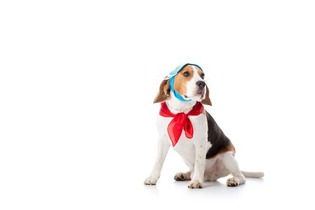 beagle dog in mask and red bandana looking away while sitting on white Stock fotó