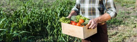 panoramic shot of senior farmer holding wooden box with vegetables near corn field