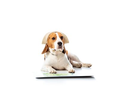 cute beagle dog in hat lying near map and looking at camera on white Banque d'images - 130322236