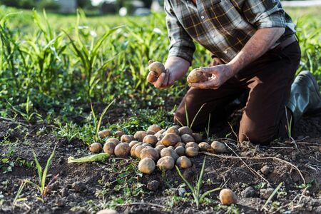 cropped view of self-employed farmer holding potatoes near corn field Stock fotó