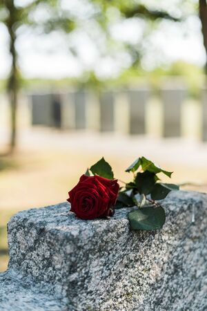 aromatic red rose on concrete tomb in cemetery