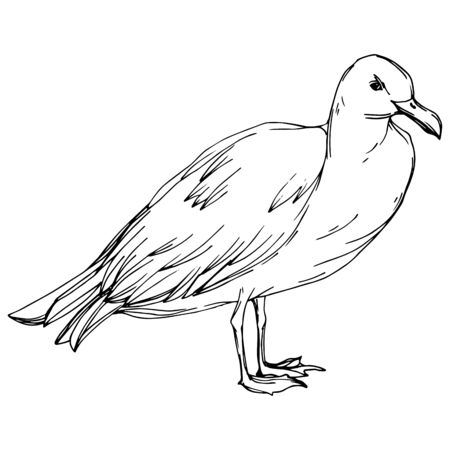 Sky bird seagull in a wildlife. Wild freedom, bird with a flying wings. Black and white engraved ink art. Isolated gull illustration element on white background.