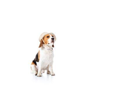 cute beagle dog in explorer hat sitting on white Banco de Imagens - 130112493