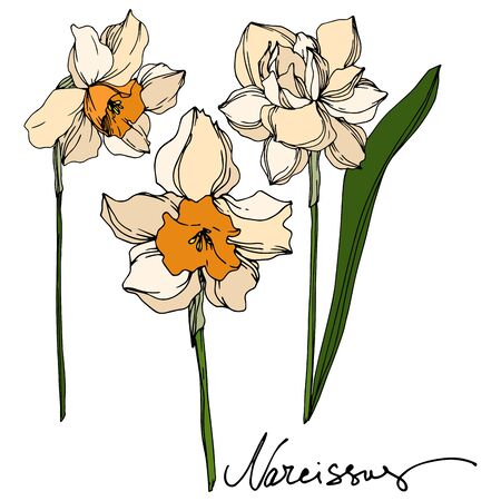 Vector Narcissus floral botanical flower. Wild spring leaf wildflower isolated. Black and white engraved ink art. Isolated narcissus illustration element on vhite background. Stok Fotoğraf - 130117475