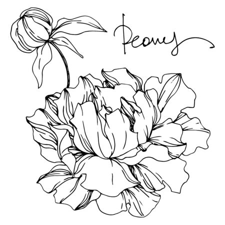 Peony floral botanical flowers. Wild spring leaf wildflower isolated. Black and white engraved ink art. Isolated peonies illustration element on white background. Stok Fotoğraf - 130116372