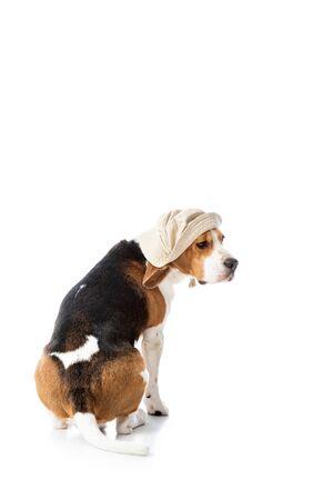 cute beagle dog in explorer hat sitting on white Banco de Imagens