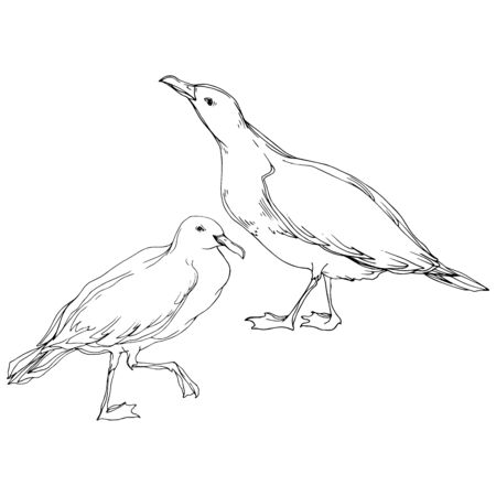 Vector Sky bird seagull in a wildlife. Black and white engraved ink art. Isolated seagull illustration element on white background. Standard-Bild - 130142273