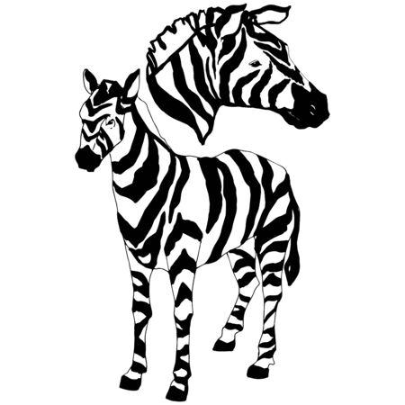 Vector Exotic zebra wild animal isolated. Black and white engraved ink art. Isolated animal illustration element on white background. Stock Illustratie