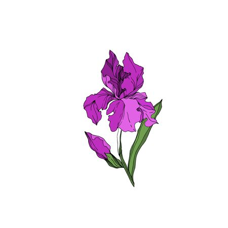 Vector Iris floral botanical flowers. Wild spring leaf wildflower isolated. Black and white engraved ink art. Isolated irises illustration element on white background. Stok Fotoğraf - 130116759
