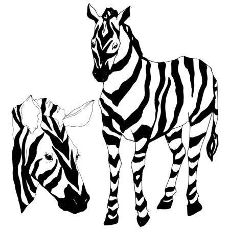 Vector Exotic zebra wild animal isolated. Black and white engraved ink art. Isolated animal illustration element on white background.