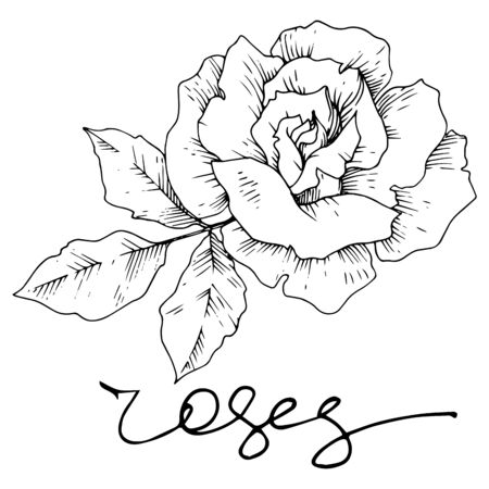 Vector rose floral botanical flowers. Wild spring leaf wildflower isolated. Black and white engraved ink art. Isolated roses illustration element on white background.