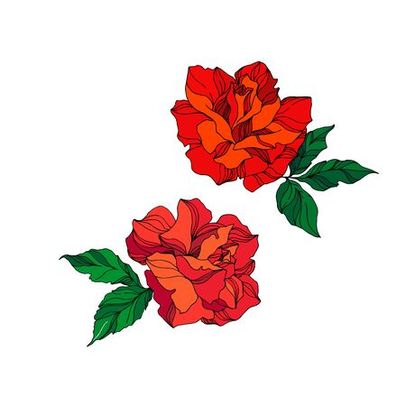 Vector Rose floral botanical flowers. Wild spring leaf wildflower isolated. Red and green engraved ink art. Isolated rose illustration element on white background. Ilustração