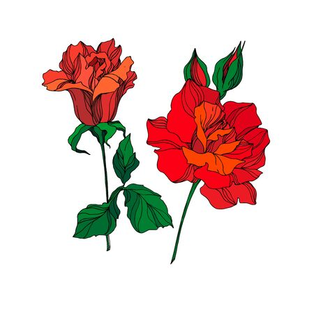 Vector Rose floral botanical flowers. Wild spring leaf wildflower isolated. Red and green engraved ink art. Isolated rose illustration element on white background. Stok Fotoğraf - 130118784