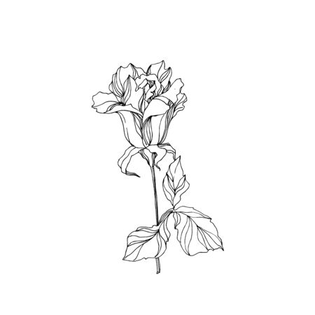 Vector Rose floral botanical flower. Wild spring leaf wildflower isolated. Black and white engraved ink art. Isolated rose illustration element on white background.