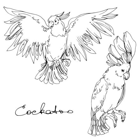 Vector Sky bird cockatoo in a wildlife isolated. Wild freedom, bird with a flying wings. Black and white engraved ink art. Isolated parrot illustration element. Illustration