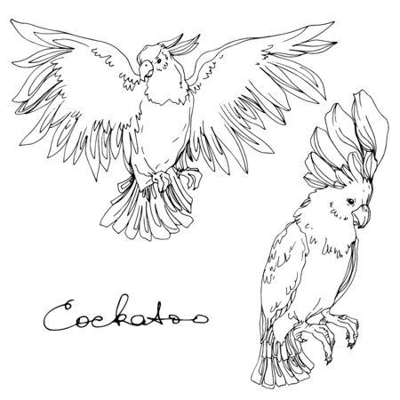 Vector Sky vogel kaketoe in een wildlife geïsoleerd. Wilde vrijheid, vogel met vliegende vleugels. Zwart-wit gegraveerde inkt kunst. Geïsoleerde papegaai illustratie element. Vector Illustratie