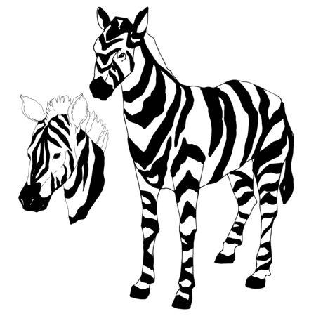 Vector Exotic zebra wild animal isolated. Black and white engraved ink art. Isolated animal illustration element on white background. Ilustracje wektorowe