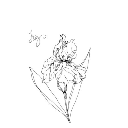 Vector Iris floral botanical flowers. Wild spring leaf wildflower isolated. Black and white engraved ink art. Isolated irises illustration element on white background. Ilustração