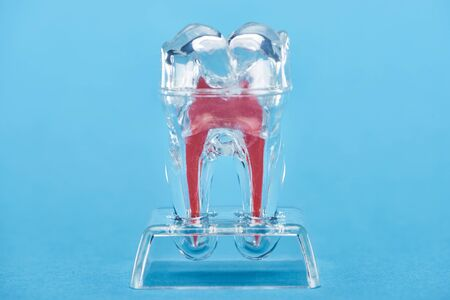 silicone tooth model with red dental root isolated on blue