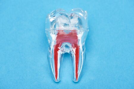 top view of silicone tooth model with red dental root isolated on blue