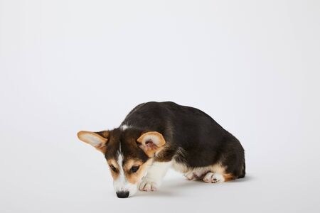 cute welsh corgi puppy sniffing on white background