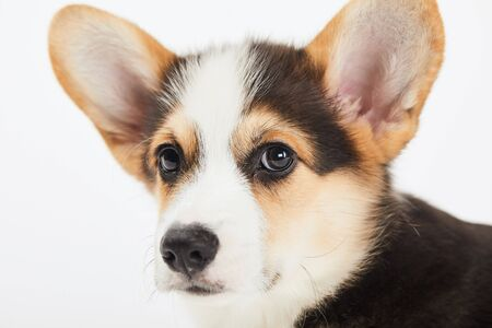close up view of cute welsh corgi puppy isolated on white 写真素材