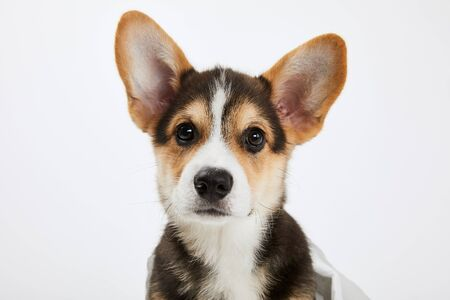 cute welsh corgi puppy looking at camera isolated on white