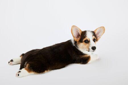 adorable welsh corgi puppy lying on white background