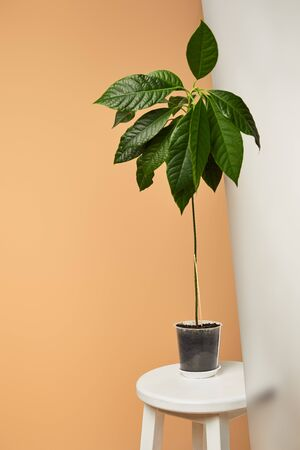 avocado tree with big green leaves in pot near matt glass isolated on beige