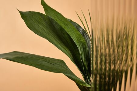 selective focus of big green leaves isolated on beige behind reed glass 版權商用圖片