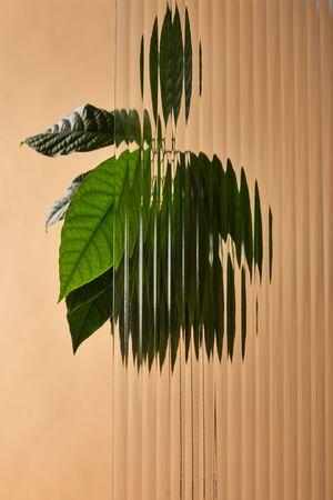 leaves of avocado tree behind glass isolated on beige 版權商用圖片