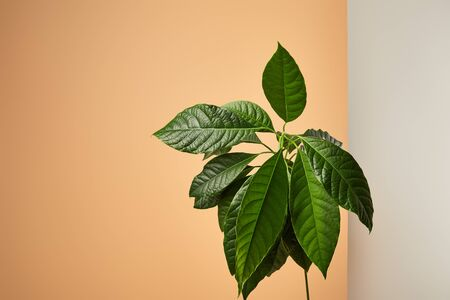 avocado tree leaves behind matt glass isolated on beige Reklamní fotografie