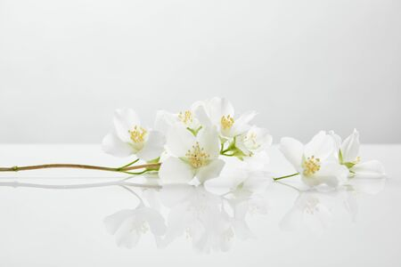 fresh and natural jasmine flowers on white surface 스톡 콘텐츠