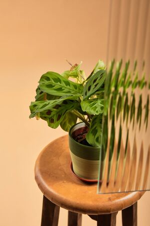 high angle view of plant on flowerpot on wooden bar stool behind reed glass isolated on beige