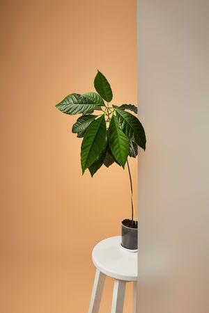 avocado tree in pot on white bar stool behind matt glass on beige