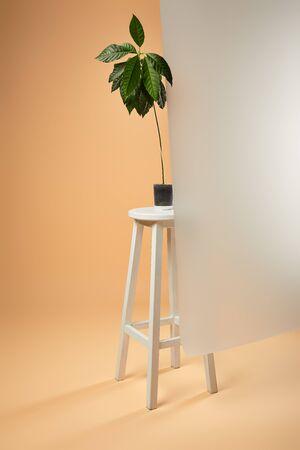 avocado tree in flowerpot on white bar stool behind matt glass on beige Reklamní fotografie
