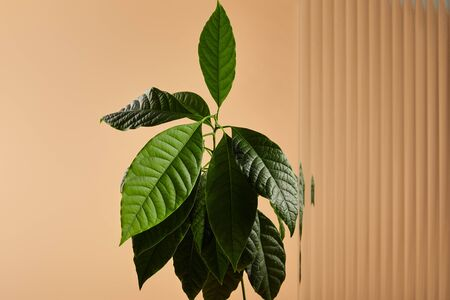 green avocado tree leaves near reed glass isolated on beige