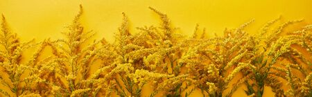 panoramic shot of goldenrod bunches isolated on yellow