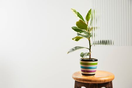 plant with green leaves in colorful flowerpot on wooden bar stool on white background behind reed glass