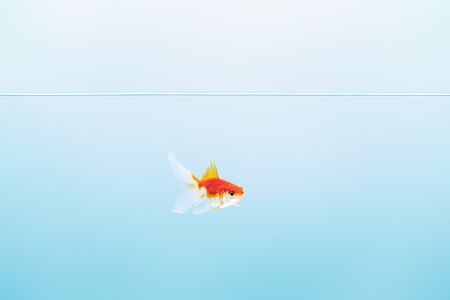 transparent pure calm water with cute goldfish on blue background Stockfoto
