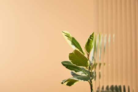 selective focus plant leaves isolated on beige behind reed glass 版權商用圖片