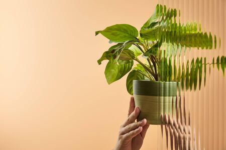 cropped view of adult holding flowerpot with plant behind reed glass isolated on beige 版權商用圖片